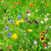 A field of wildflowers.