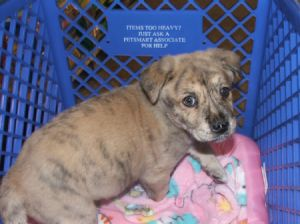 Brindle puppy on blanket in a crate.