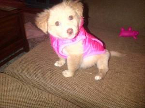 Tan puppy in pink coat.