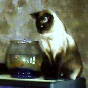 Cat watching fish in bowl.