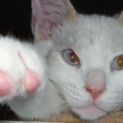 Snow white cat with pink nail covers.