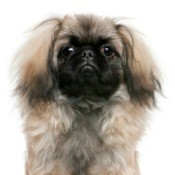 6 month old Pekingese dog.