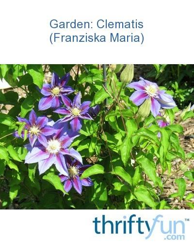 garden clematis franziska maria thriftyfun. Black Bedroom Furniture Sets. Home Design Ideas
