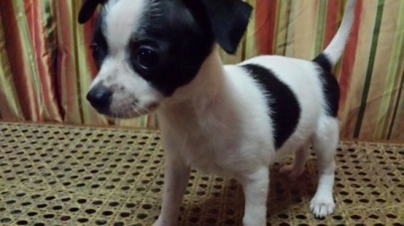 Black and white puppy.
