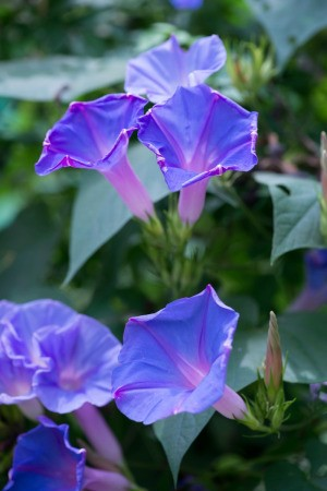 how to start morning glory seeds
