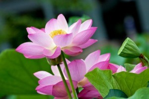 Photo of a beautiful blooming lotus.