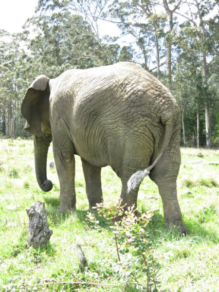Elephant from the rear.
