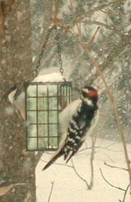 Closeup of woodpecker on feeder.