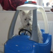 Small white dog in blue toy car