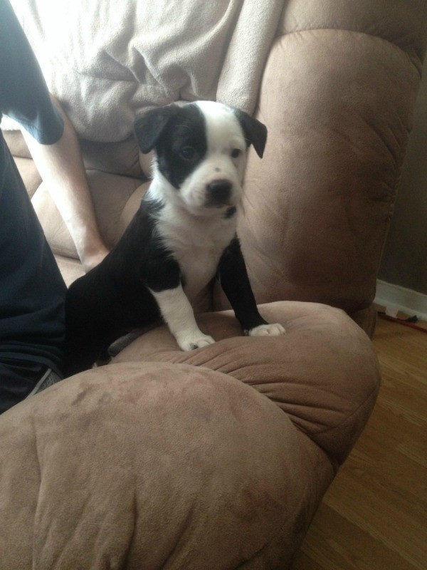 Black and white puppy on couch.