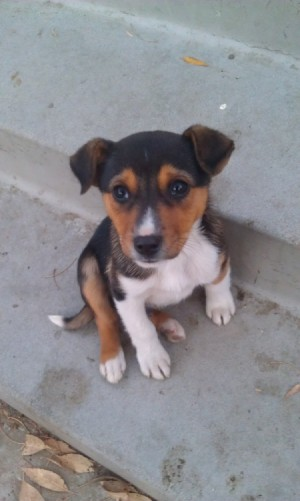 Small black, tan, white puppy.