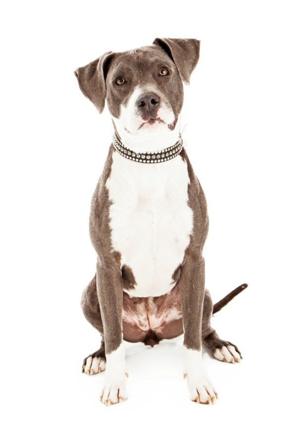 american pit bull terrier mix photos thriftyfun