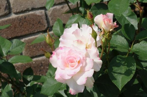 10 mejores arbustos de flores de primavera - Telegraph