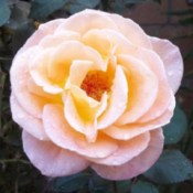 Peach colored rose, mix of pink and pale yellow.