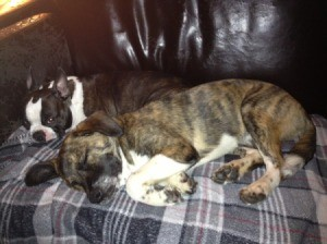Dog sleeping on blanket curled up with Boston Terrier.