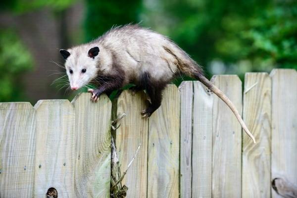 Opossum Information And Photos Thriftyfun