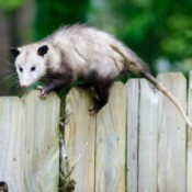 Opossum on Fence