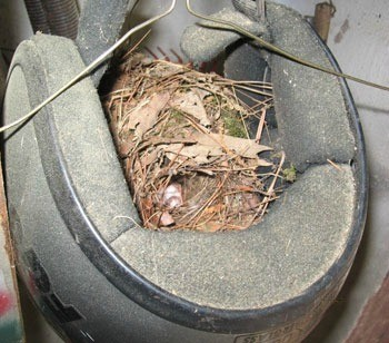 Nest in helmet.