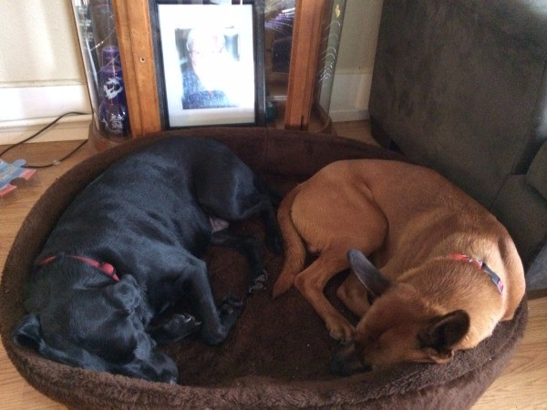 Dog lying in dog bed with a black Lab.