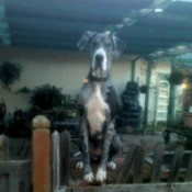 Samantha (Great Dane)