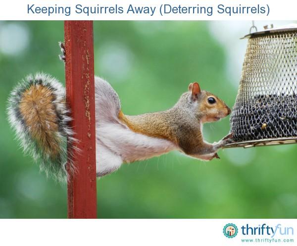 Keeping Squirrels Away Deterring Squirrels Thriftyfun