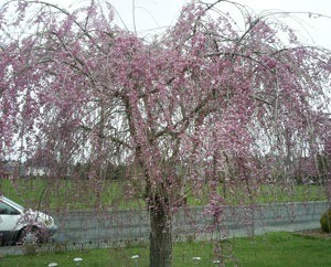Weeping cherry tree in bloom.