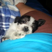 white and black puppy on lap