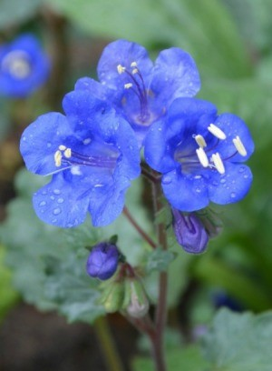 Baby Blue Eyes (California Blue Bells)
