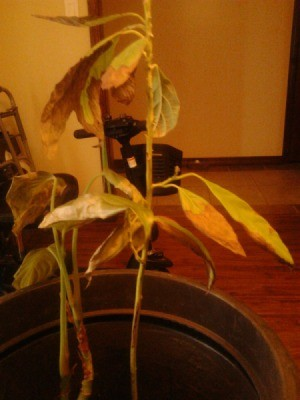 Avocado with dying leaves.