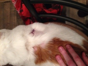Remedies For Cat Losing Hair Thriftyfun