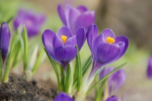 Growing Crocus