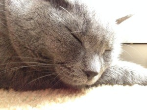 Closeup of a grey cat's head, with eyes closed.