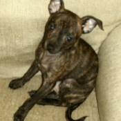 Mr. Little (Brindle Colored Chihuahua)