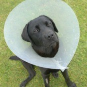 Dog in Elizabethan Pet Collar