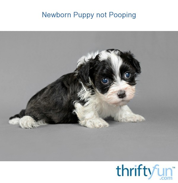 Newborn Puppy Not Pooping Thriftyfun