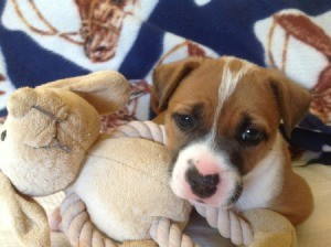 Brown and white puppy.