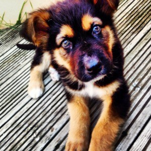 Black and tan puppy.