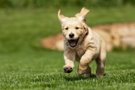 Puppy Running in Yard