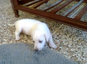 White puppy on the floor.