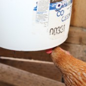 chicken using waterer