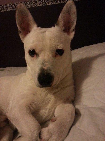 White dog with big standup ears.