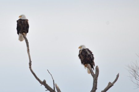 Bald Eagles on High (Ontario)