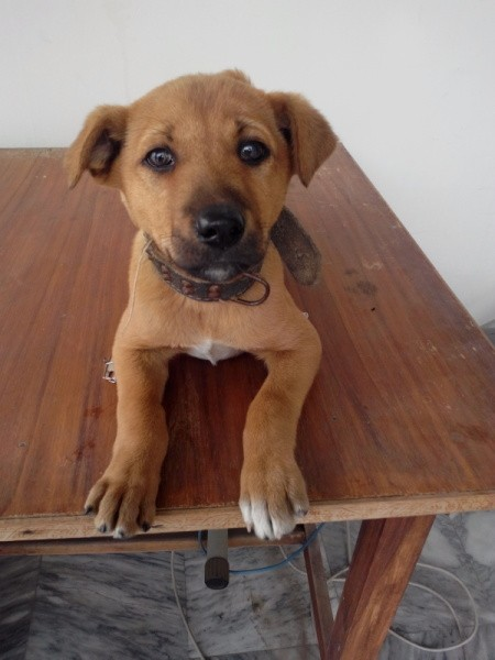 Puppy on table looking forward.