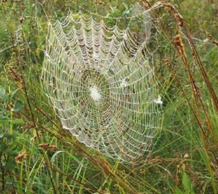 Dew covered web.