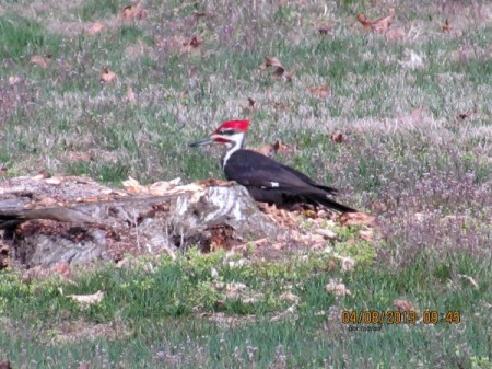 Pileated woodpecker on tree stump.