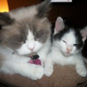 Ming (Ragdoll/Himalayan) and Buttons