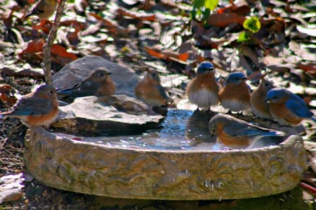 Thirsty Bluebirds in Winter
