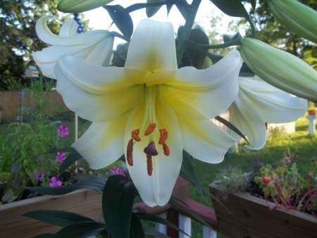 White lily with yellow throat.