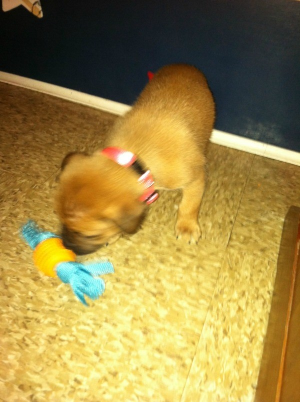Puppy with dog toy.