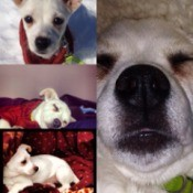 Four photos of Jack Russell puppy.